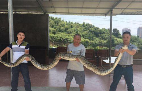 据泉州晚报报导 26日晚,安溪县祥华乡珍山村山上发觉一条大蟒蛇。