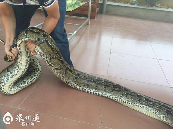 图为61斤重的蟒蛇。