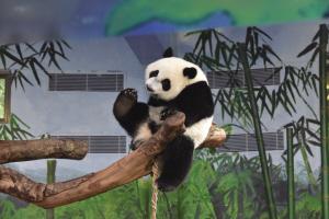 """上周五,长隆野生动物世界为熊猫三胞胎""""萌帅酷""""庆祝2周岁生日,羊铁君诚意邀请一众""""亲友团""""参加盛典,为熊猫姐弟们送上祝福,一起来重温当天盛况吧。"""