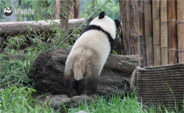 大熊猫出逃失败被逮回 吐舌微笑萌翻网友