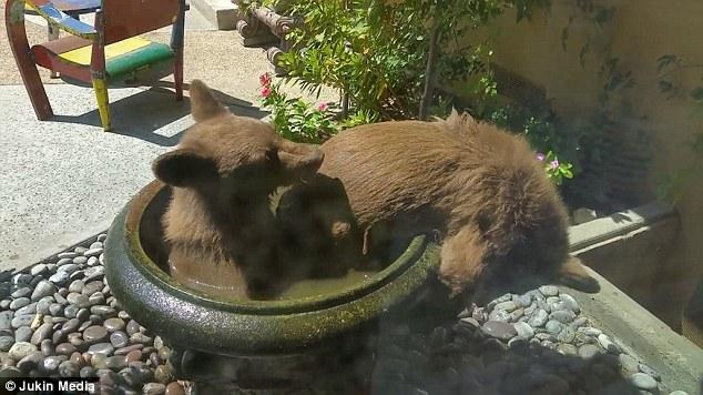 小熊跳入居民水池嬉戏 网友:私闯民宅还这么高调
