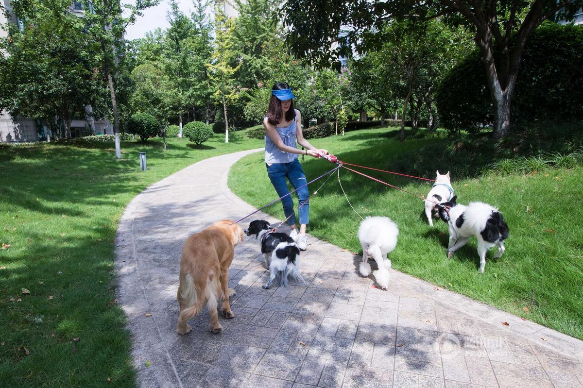 """2016年8月4日,浙江杭州某小区,一位女生大热天拖着5条狗,满头大汗在小区里遛,很多人好奇为什么她一次遛这么多狗。原来,那些狗不是她的,她只是接了兼职帮人遛狗。这位女生叫飘飘,前天晚上,她在网上找到3份兼职——早上给人遛狗,中午给程序员送绿豆汤,还有一个工作更""""奇葩""""——与失恋者谈心,一天下来可以赚取近400元的收入。"""