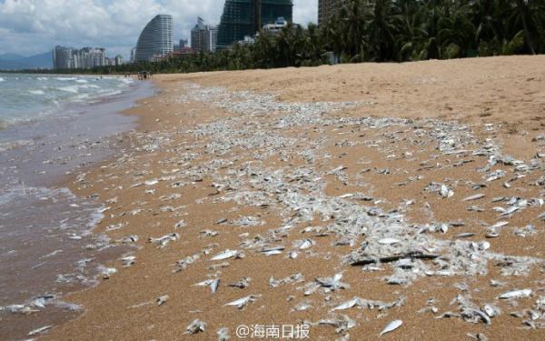 8月10日上午在三亚湾近六百米沙岸呈现很多死鱼。 @海南日报 图