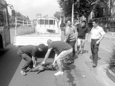 8月12日上午,南京鼓楼区新榜样马路上,忽然呈现一头小猪。遭到惊吓的小猪满街乱跑,途经的鼓楼城管法律人员立面前车,逮住了它,带回地方门大街城管中队照管。
