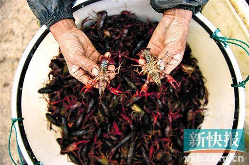 安徽省全椒县二郎口镇推广稻虾轮作形式,激励农夫在稻田里饲养小龙虾。