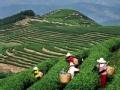 茶马古道 源起茶山