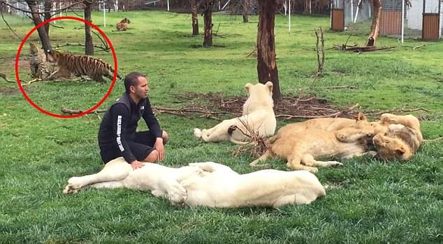 虽然老虎一直在盯着这只花豹,但是不一会儿花豹还是向爱德华多扑了过去,爱德华多完全没有意识到有两只动物正在向他扑过来,花豹抓住了他的大腿,爱德华多就用力拍打花豹,这只老虎立刻将花豹扑倒并咬住了它的脚,花豹才放开他的腿。