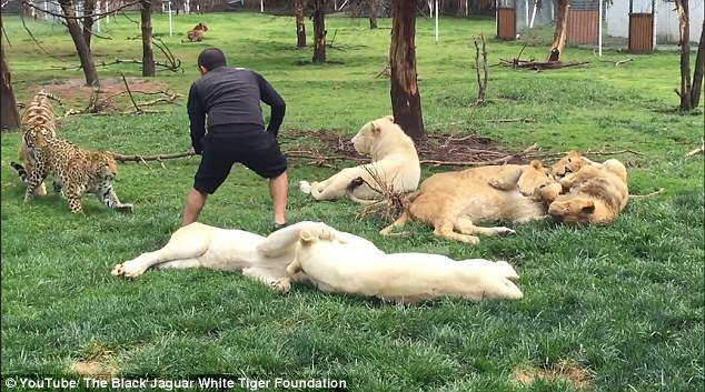 据英国《每日邮报》8月15日报道,在墨西哥的黑美洲豹白虎动物园里,一名叫做爱德华多· 塞里奥(Eduardo Serio)的动物园管理员正在和6只白狮玩耍,却不料遭到身后一只花豹袭击。但幸运的是,一只名叫阿兹特兰(Aztlan)的老虎救了这名管理员,帮他摆脱了花豹的袭击。