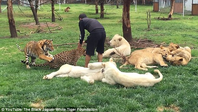 据英国《每日邮报》8月15日报道,在墨西哥的黑美洲豹白虎动物园里,一名叫做爱德华多・ 塞里奥(Eduardo Serio)的动物园管理员正在和6只白狮玩耍,却不料遭到身后一只花豹袭击。但幸运的是,一只名叫阿兹特兰(Aztlan)的老虎救了这名管理员,帮他摆脱了花豹的袭击。