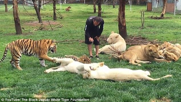 墨动物园管理员遭花豹背后偷袭 老虎出手相救
