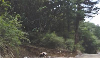 这只野生大熊猫迅速穿过马路,然后爬上只有1米高的土坎。