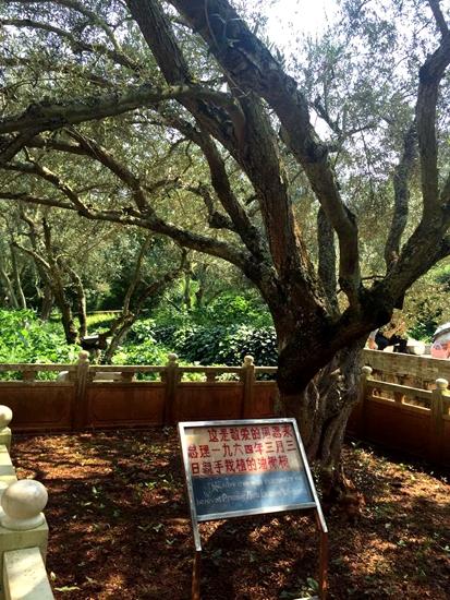 海口林场内周恩来总理亲手种下的油橄榄树。