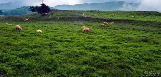 看照片,您肯定以为这是新西兰,可这就在咱大昆明,这里有一大片安静的高山牧场。你可以看见,天空高远澄净,牧草肥美,清风徐来,显现出一群群的牛羊……这里有最闲适的秋天,最清新的空气,最和谐的自然美景,这里就是——寻甸,凤梧山。