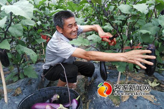 华割禾在他承租的蔬菜大棚里采摘茄子。