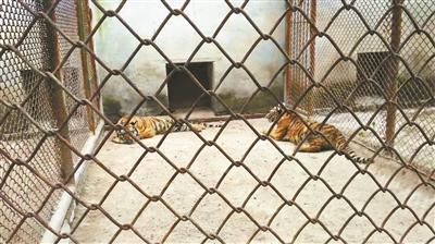 展示区被关在笼子里的老虎,笼子上未标注品种