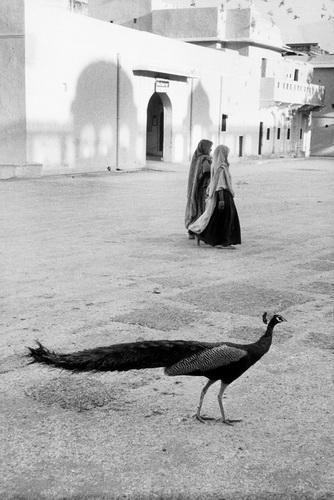 Paon à Jaipur, 1956