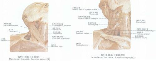 复杂的颈部肌肉结构
