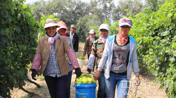 葡萄采摘成为乌海市幸福产业。石历增摄
