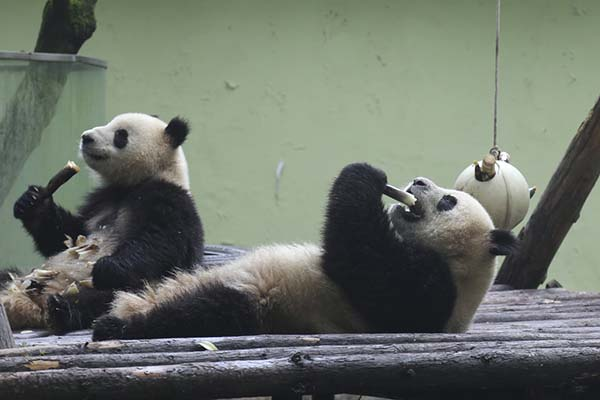上海动物园里的大熊猫。 澎湃资料图