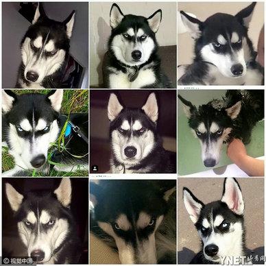 现在有越来越多的人养狗狗来作为自己的一个生活伴侣,像是可爱的腊肠狗、短腿翘臀的柯基、霸气的哈士奇还是萌萌的柴犬都是许多非常受欢迎的饲养种类。 日前在网上有只叫Anuko哈士奇爆红,是因为被主人骗所展现出来的霸气系列照片引发了许多网友的讨论与关注。