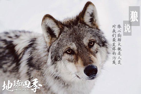 雪狼流露着对生命的热忱和尊重