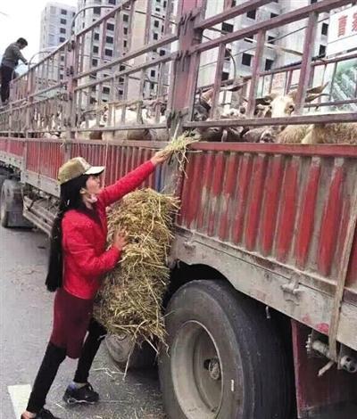 放生途中,作业人员给羊喂草。