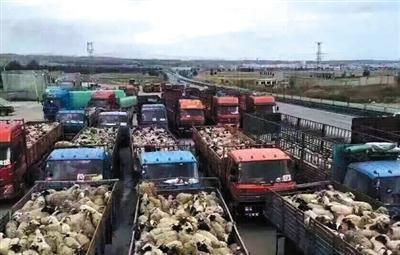 数十辆货车载着羊群返回放买卖图地色达草原。