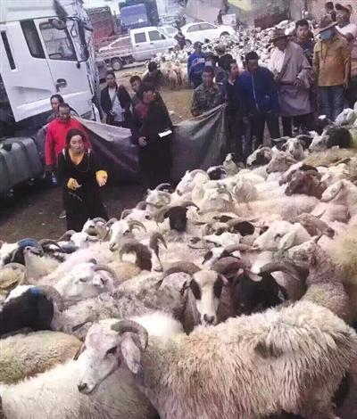 卓玛和预备放生的羊群。