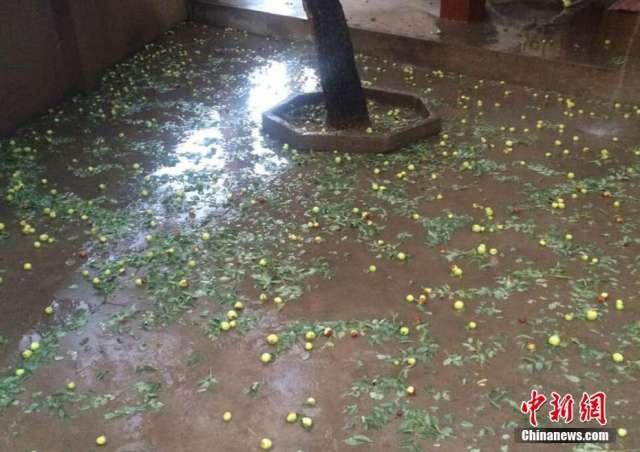 9月12日傍晚,甘肃榆中县局地突降玻璃球大小冰雹,约持续10余分钟,地上白茫茫一片。据当地农民称,冰雹致使枣树等果实跌落或被打伤,玉米、马铃薯等农作物不同程度受灾。
