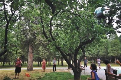 6月9日,天坛公园,有市民爬树摇树干摘杏。新京报记者 王嘉宁 摄