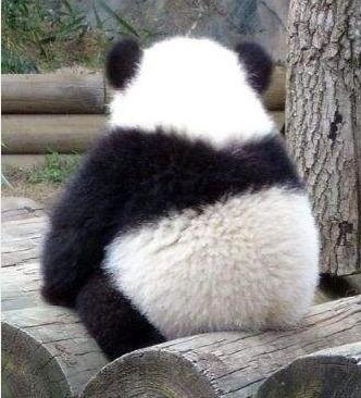 """2013年,旅日大熊猫""""梅浜""""和""""永浜""""回国,听着日语长大的它们当然也听不懂四川话了,奶爸奶妈们必须不厌其烦地""""对熊弹琴""""——不断跟它们说话,还要用苹果诱惑它们学会听四川话""""招呼""""。"""