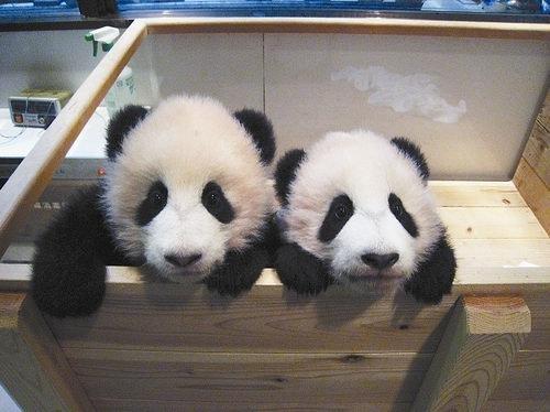 还有的滚滚语言天赋异禀,竟然精通好几门语言,比如这两只赠港大熊猫。