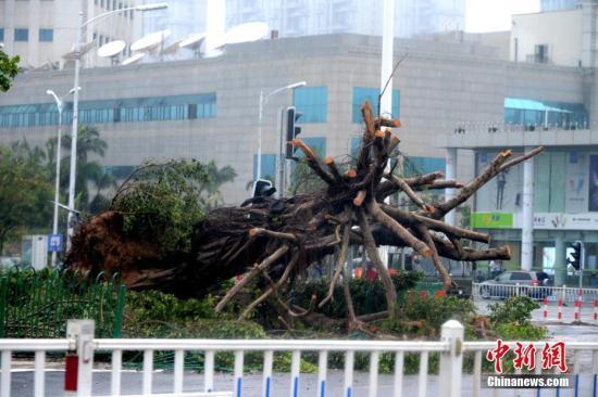 """资料图:厦门街头随处可见被""""莫兰蒂""""台风连根拔起的大树。在""""莫兰蒂""""影响下,厦门有35万棵行道树倒伏,房屋倒塌损坏113处。 中新社记者 王东明 摄"""