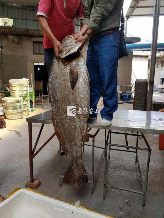 舟山渔民拿获长1.56米稀有鱼王。