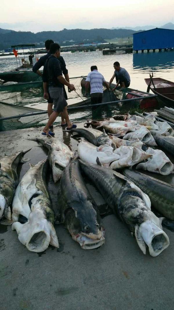 湖北清江受灾饲养户捞出的已殒命达乌尔鳇或达乌尔鳇的杂交种(天然散布在黑龙江地域)。受灾饲养户供图