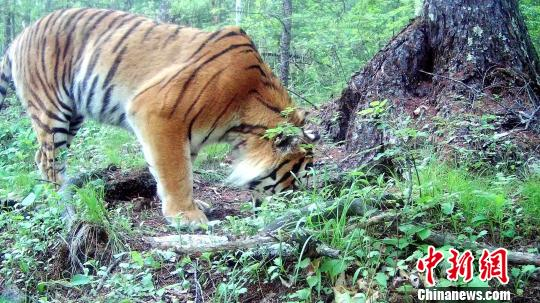 图为红外相机拍摄到的野生东北虎。 黑龙江省林业厅提供 摄