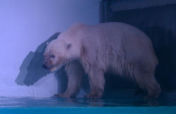 """2016年7月27日,广州正佳极地海洋世界,一只名为披萨的北极熊是这里最受欢迎的""""明星动物""""。 本文图片均为 东方IC 资料图"""
