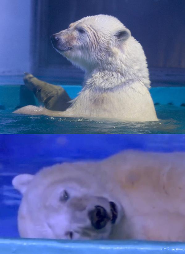 """广州正佳极地海洋世界,北极熊披萨因为生活空间狭小,被许多网友称为世界上""""最悲伤的北极熊""""。"""