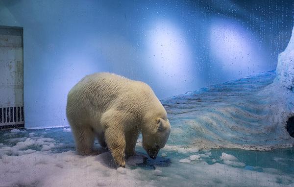 """广州正佳极地海洋世界,北极熊披萨因为生活空间狭小,被许多网友称为世界上""""最悲伤的北极熊""""。 视觉中国 图"""
