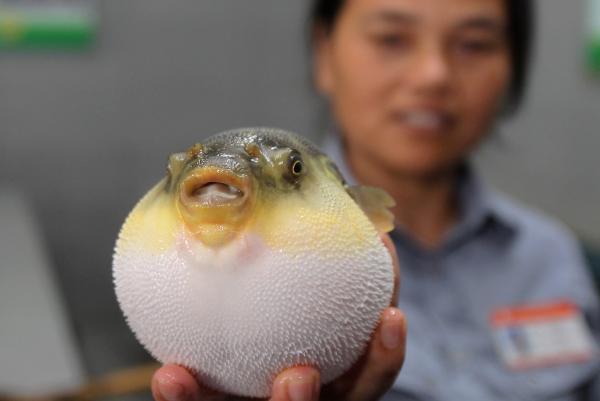 图为2013年8月22日,江苏海安,中洋长江珍稀鱼类物流配送中心工作人员展示刚刚打捞出水的河豚。 文内图均来自 视觉中国