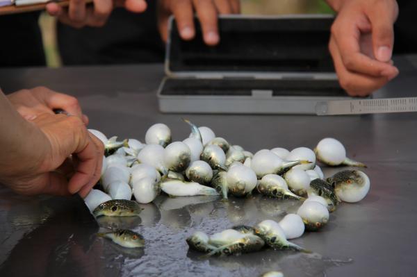 2016年6月8日,辽宁省丹东市,东港,海边养殖区。工作人员给河豚宝宝测量体长。