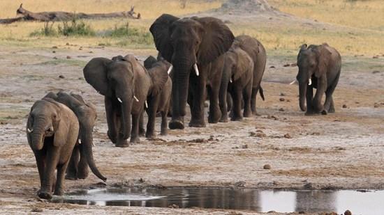 资料图:非洲象