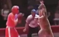 袋鼠参加拳击赛把裁判揍了