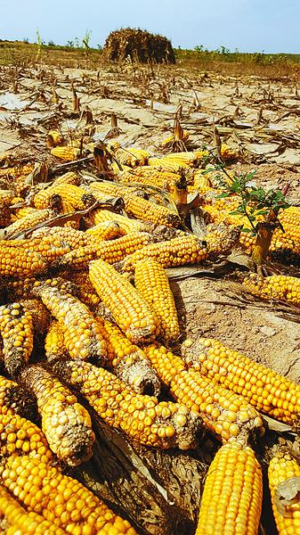 散落遍地的转基因玉米。