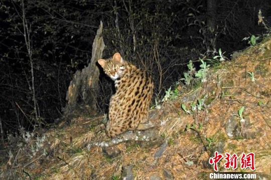 豹猫(资料图)。 钟欣 摄