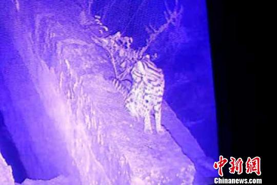 视频拍摄到的豹猫。 钟欣 摄