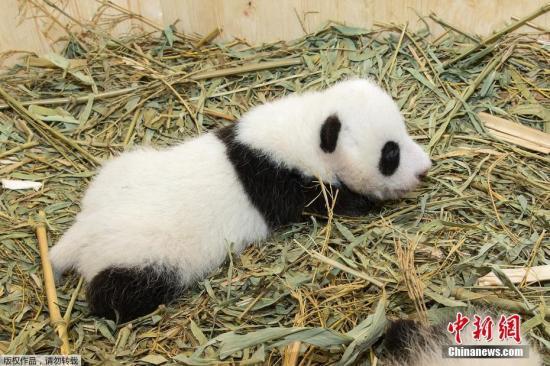 资料图:大熊猫。