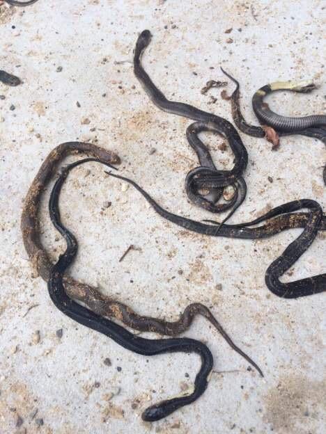饲养场内局部眼镜蛇的幼蛇呈现殒命痕迹。