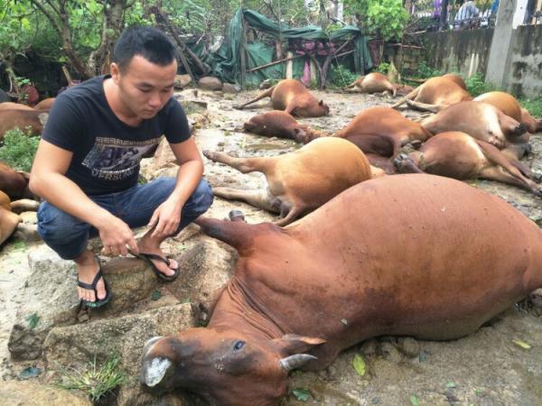 10月18日早上7时摆布,海南省万宁市万乡镇东星村委会第七乡民小组(剪岭前村)乡民符芳平豢养的31头牛被电死。南海网 图