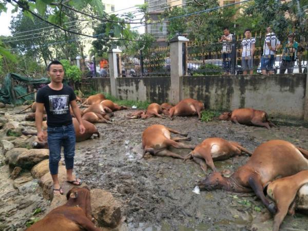 海南万宁飓风中高压线开裂,电死乡民31头黄牛将填埋处置